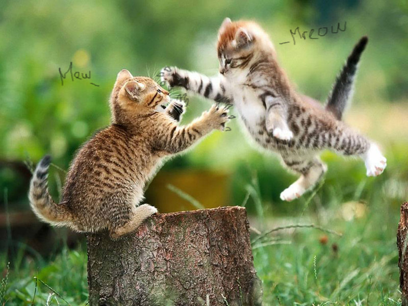 kittens-fighting