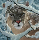 mountain-lion