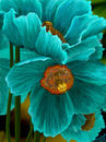 teal-poppies